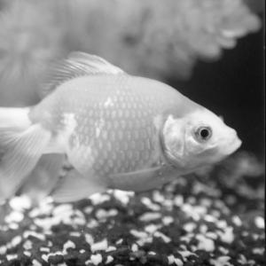 Edmund the Goldfish